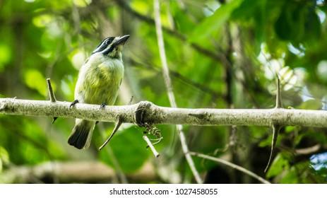 Yellow - Rumped Tinker Bird