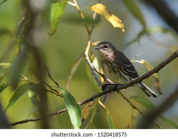 Yellow Rumped warbler perched on a branch