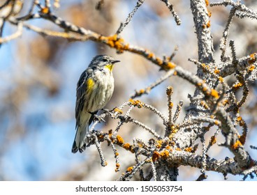 A yellow rumped warbler perched in a tree.
