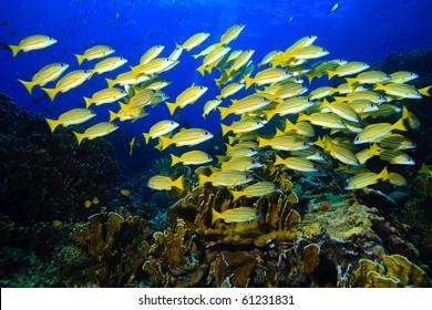 Yellow runner school fish