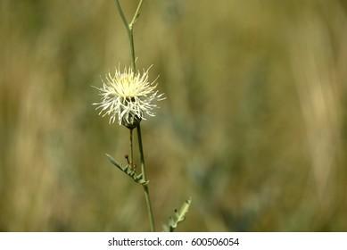Yellow russian Centaurea or cornflower on a green blurred background