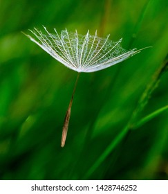 Yellow Salsify puff in long grass close up