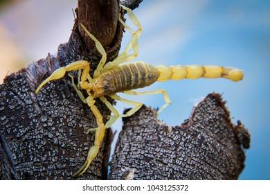 The yellow scorpion