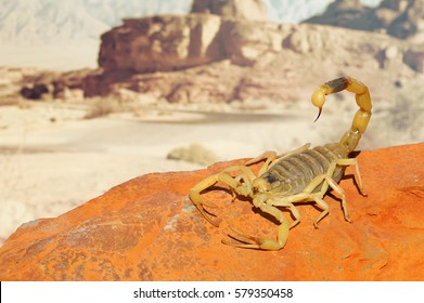 Yellow Scorpion on red sand stone with mountain of colored stony desert landscape in soft background. Close up