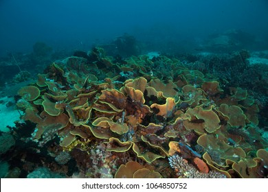 Yellow scroll coral (Turbinaria reniformes). Picture was taken in the Ceram sea, Raja Ampat, West Papua, Indonesia