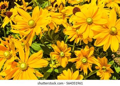Yellow sea of daisies in San Marino, California