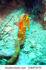 yellow seahorse, Hippocampus kuda - scuba diving at the coral reef in Thailand