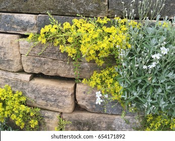 Yellow Sedum growing through a dry-stack, limestone retaining wall. Great background for landscaping, gardening and plants.