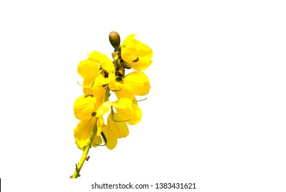 Yellow Senna didymobotrya flower is a species of flowering plant in the legume family known by the common names African senna, candelabra tree, and peanut butter cassia, Isolated on white background.