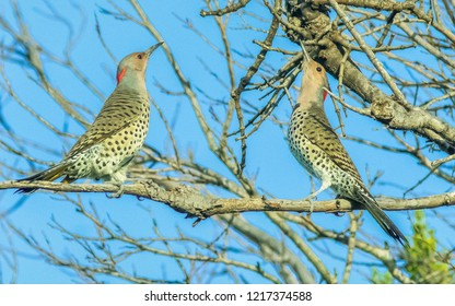 Yellow Shafted Flickers