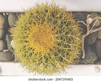 Yellow sharp needles of echinocactus grusonii species. Large exotic outdoor plant in a white ceramic pot with black stones. Selective focus on the spikes, blurred background.