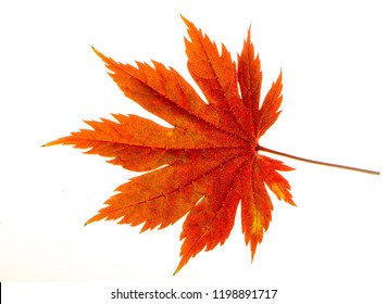 Yellow sheet of Japanese maple on a white background