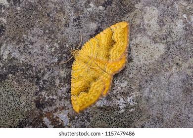 Yellow Shell moth ( Camptogramma bilineata ). Sitting on a rock.