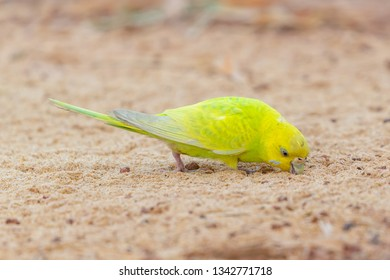 Yellow shell parakeet finding food on a ground