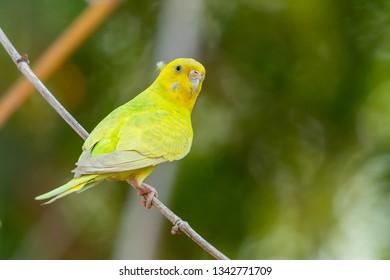 Yellow shell parakeet perching on a perch