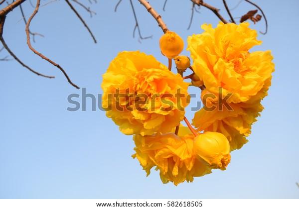 Yellow Silk Cotton Tree