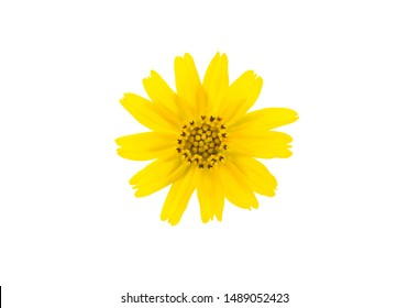 Yellow singapore daisy flower isolated on white background