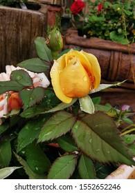 yellow single rose bud wet with morning rain