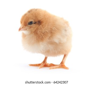 The yellow small chick with egg isolated on a white background