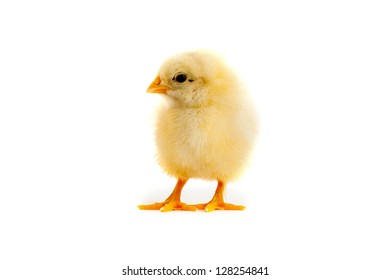The yellow small chick isolated on a white background