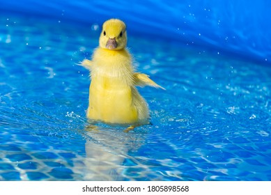 Yellow small cute duckling in swimming pool. Duckling swimming in crystal clear blue water sunny summer day.