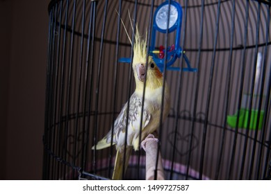 yellow, small parrot in cage