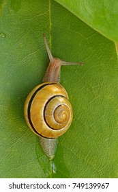 Yellow snail on a green  leaf. petite snail sitting on the  leaf. Snail slime. snail mucus extract