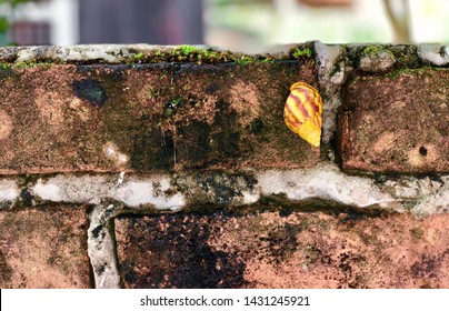 Yellow snail on the old brick wall. Scutalus is a genus of air-breathing land snails, a terrestrial pulmonate gastropod mollusks in the family Bulimulidae.