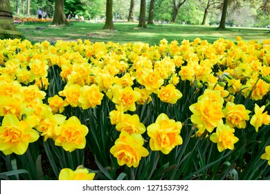 Yellow soft daffodil flower with green leaves in the park outdoor. Beautiful narcissus spring blossom under sunlight in the garden and natural background at spring or summer season. Nature concept.