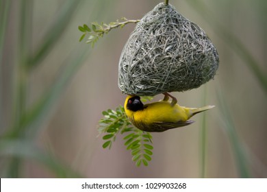 Yellow Southern Masked-Weaver building a nest