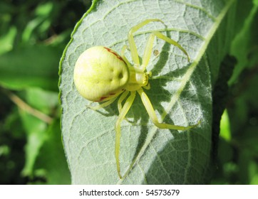 yellow spider with long legs on the leaf