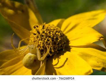 Yellow Spider On Yellow Flower Macro
