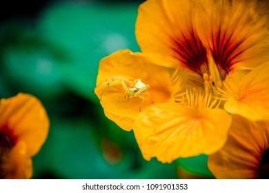 Yellow spider in an orange flower