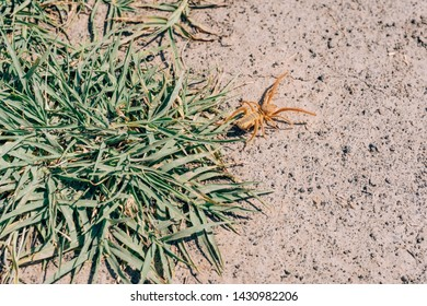 Yellow spider phalanx crawling on dry ground. Insect in nature. A large spider of light color.