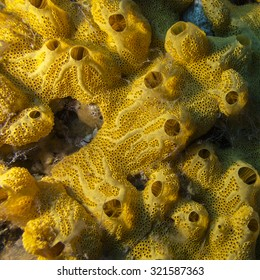 Yellow sponge on bottom of tropical sea, underwater