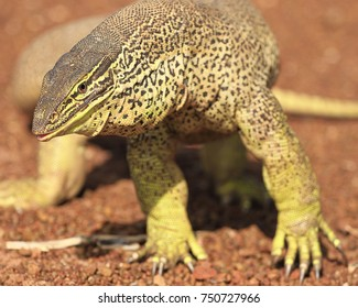 Yellow Spotted Monitor (Varanus panoptes) stinging strong in the desert