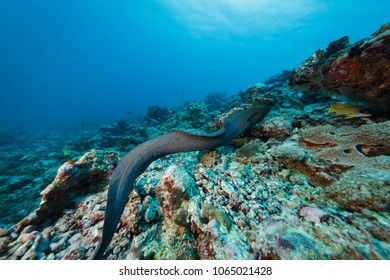 yellow spotted moray eel, Gymnothorax moringa, free swimming across coral reef