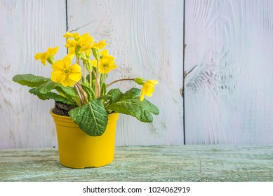 Yellow spring flower in yellow flowerpot on paint wooden background with copy space