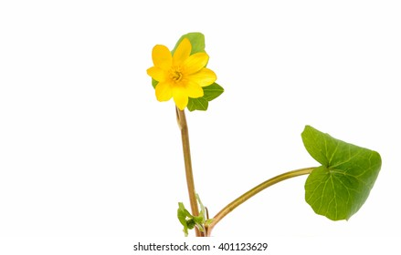 yellow spring flower isolated on a white background