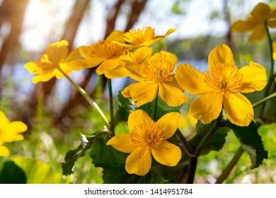 Yellow spring flowers Caltha palustris known as marigold marsh on the shore of the lake in may day closeup