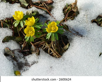 Yellow spring flowers close-up rising from the snow