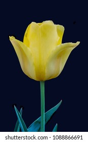 Yellow Spring Tulip