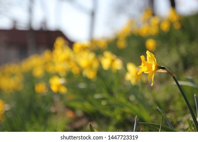 Yellow springtime daffodils bloom on the side of a hill in the town of Sigtuna, Sweden.