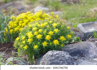 Yellow Spurge or Devil's-milk flower (latin name: euphorbia) in the garden early spring