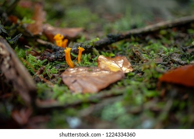 Yellow stagshorn (Calocera viscosa), is a jelly fungus, a member of the Dacrymycetales. fruiting body