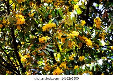 Yellow star flowers or Schoutenia glomerata King subsp.peregrina (Craib) Roekm.