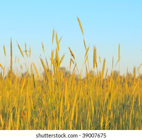 Yellow stems of wheat over blue sky background
