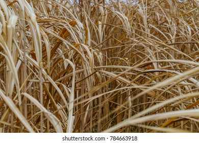 Yellow straw in a corn field