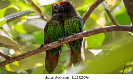 Yellow Streaked Lorikeets sitting on a branch - yellowish-streaked lory (Chalcopsitta scintillata) - streaked lory or yellow-streaked lory