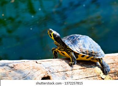 A  yellow striped Florida red-bellied cooter or Florida redbelly turtle, species of turtle in the family Emydidae, on a wood trunk in a water pond
